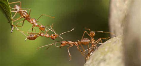 ameisen im garten ameisen bek 228 mpfen das gartenmagazin