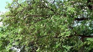 Wood-apple Tree With A Ripe Fruits (Limonia Acidissima ...