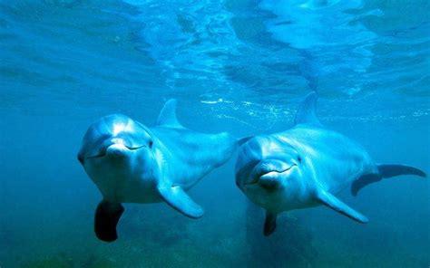 animals nature dolphin underwater blue sea water