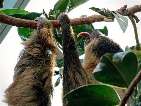 sloth toed linne zoo linnes