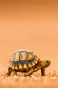 Pets, The hedgehog and Tortoise on Pinterest