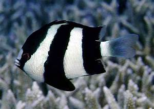 98 best Damsel fish and clown fish images on Pinterest ...