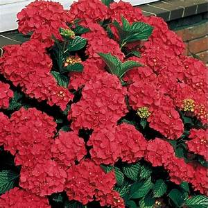 Hortensie Wims Red : royal red hydrangea hydrangea plants ~ Michelbontemps.com Haus und Dekorationen