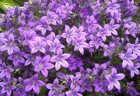 perennials that bloom all summer purple perennials that bloom all summer pc canula purple get mee the purple blooms on this