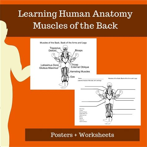 For the muscular system you will need to know: Muscular System Teaching Resources - Human Anatomy - Posters and Worksheets - Label each muscle ...
