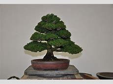 Hinoki Cypress Bay Island Bonsai
