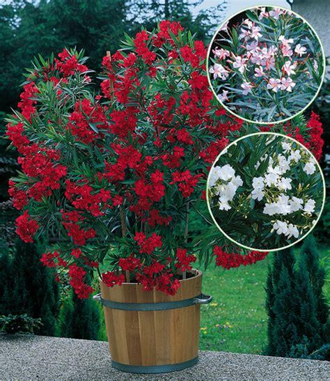 oleander mix top kuebelpflanzen kaufen baldur garten