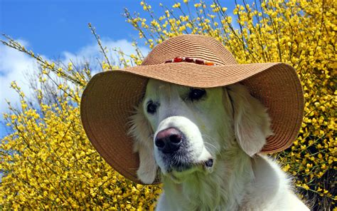 Summer Animal Wallpaper - golden retriever with a summer hat wallpaper animal