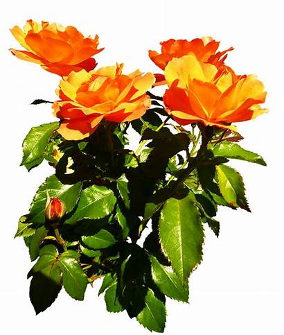 Rose Orange Roses Clipart Blooming Bunch Flower