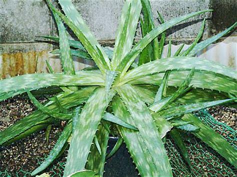 aloe varieties pictures the miraculous health benefits of aloe vera part iii