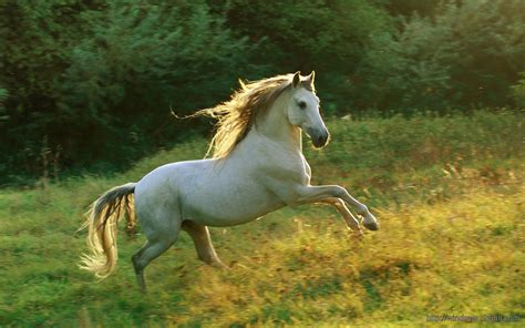 running horse pic windows  wallpapers