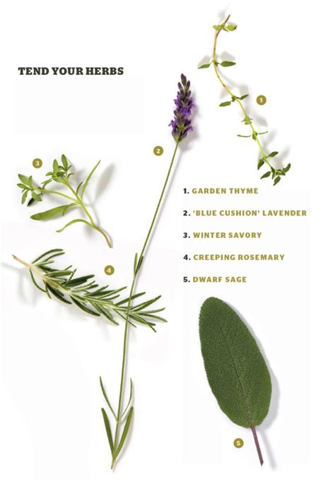 Rosemary Herb Diagram by Herbal Infusion Portland Monthly