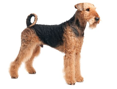 terrier breeds pictures to pin on pinterest thepinsta