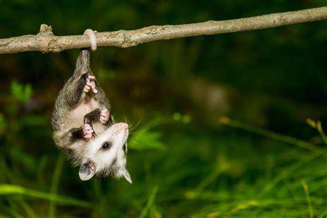 fairy possums  risk  extinction  australia earthcom