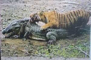 I'm Curious Too: Panthera tigris