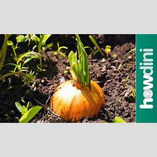 How To Care For Onion Plants Youtube