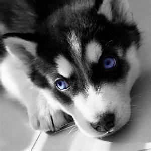 Siberian Husky - Outgoing and Cheeky   Mini huskies ...