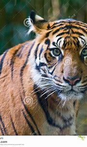 Tiger - Green Eyes Stock Photography - Image: 12482252