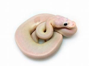 Super Cinnamon Pied - Morph List - World of Ball Pythons