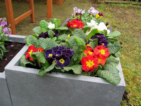 ab wann kann stauden pflanzen ab wann kann balkonblumen pflanzen 187 gartenbob de der garten ratgeber