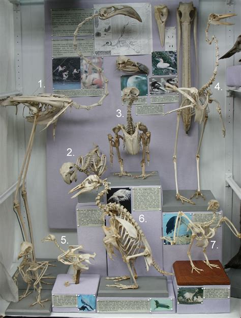 Natural History Collections Bird Skeletons Skulls