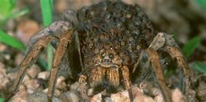 Faire Fuir Les Araignées : video l 39 araign e loup porte ses petits sur son dos ~ Melissatoandfro.com Idées de Décoration