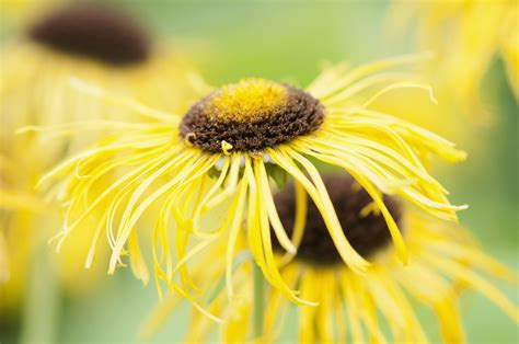 Elecampane Plant: Caring and Growing Guide