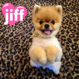 Baby Jif the Pom Dog