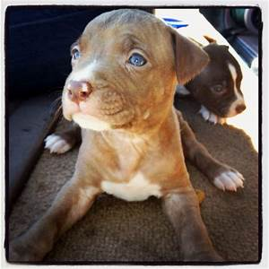 Road side Pups for sale ATL Red & Blue Nose Pitbull Pups # ...