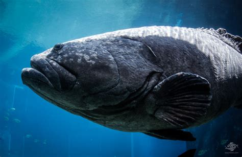 grouper giant spotted groupers seaunseen mouth headshot