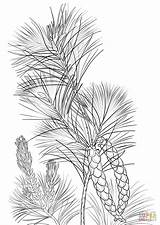 Pine Coloring Cone Tree Tassel Drawing Drawings Printable Template Trees sketch template