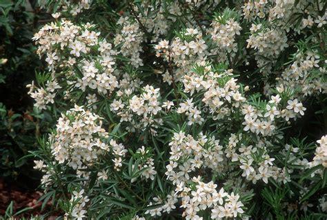 preserved flowers fragrant white flower bush flowering fragrant