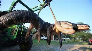 15 Foot Alligator Found and Removed in Florida - BUnow ...