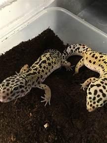 creating a leopard gecko habitat
