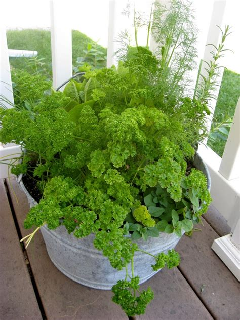 bureau veritas rouen grow dill in pot 28 images dill pod easy edible