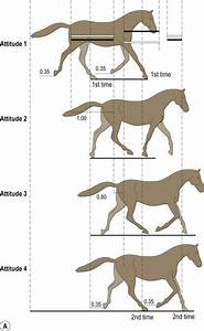 Gaits And Interlimb Coordination