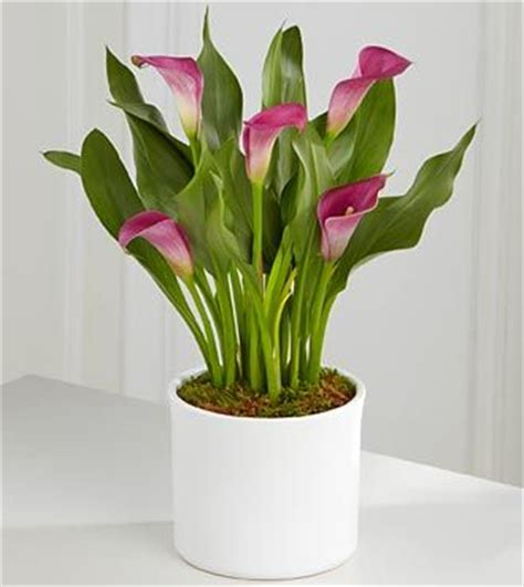 how to plant a calla 168 best images about calla lily on pinterest black