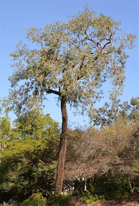 red ironbark eucalyptus sideroxylon rosea