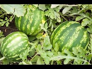 How to Grow Watermelons - Complete Growing Guide - YouTube