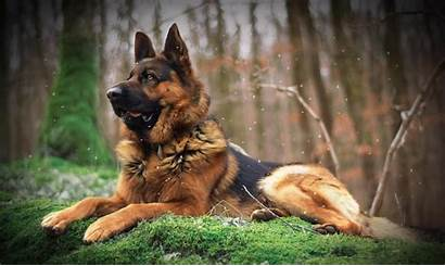 Shepherd German Dog Brown Wallpapers Forest Desktop