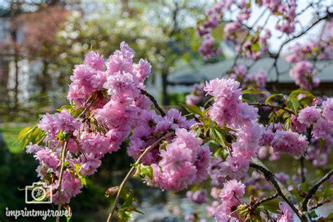 Japanischer Garten Wien Kirschblüte by Kirschbl 252 Te In Wien Die 5 Besten Orte F 252 R