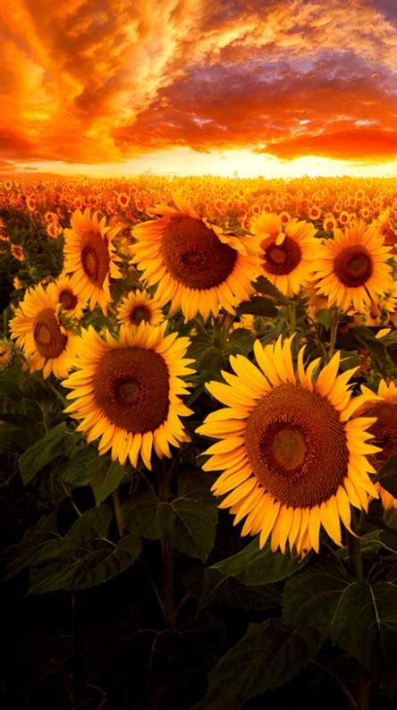sunflower wallpapers   zedge