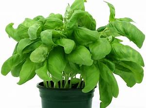 Free Picture  Leaf  Basil  Spice  Nature  Herb  Flora