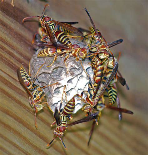 Get Rid Of Wasps In Garden by All About Guinea Wasps And How To Get Rid Of Them Tex