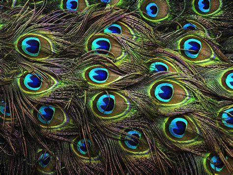 peacocks pay  price  beauty audubon