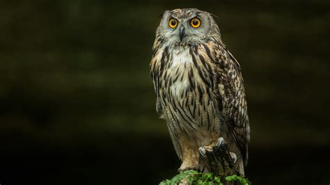 Hd Owl Wallpapers by Hd Owl Wallpaper 78 Images