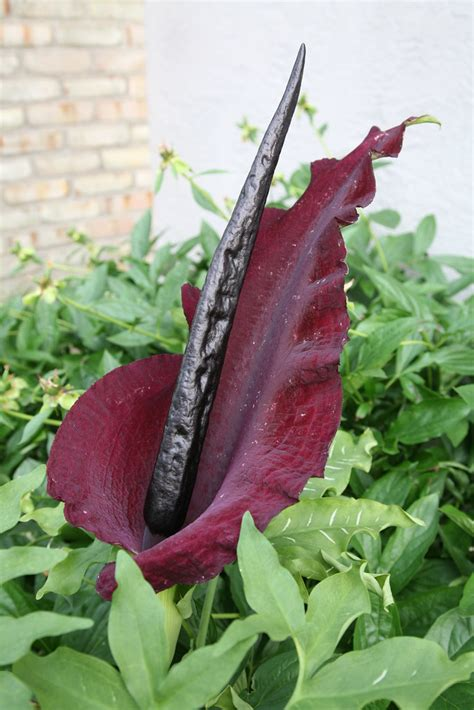 dracunculus vulgaris stink lily  snake lily