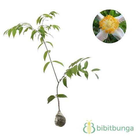 tanaman nagasari dewadaru bibitbungacom