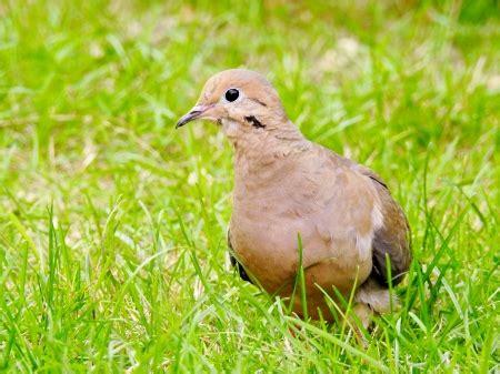 Morning Animal Wallpaper - morning dove birds animals background wallpapers on