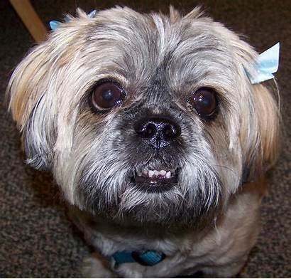 Ugly Dog Shih Tzu Dogs Hair Clippers